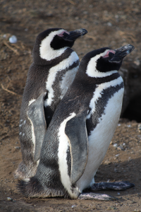 Penguins on Magdalena Island