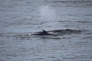 A pod of orca in open sea, travel on the navimag ferry
