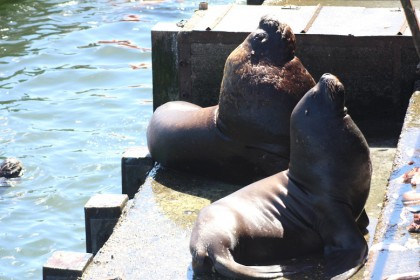 Sea-lions in Valdivia